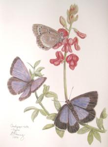 Orachrysops niobe